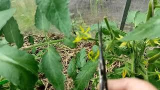 Уход за томатами в июне и нормирование завязей