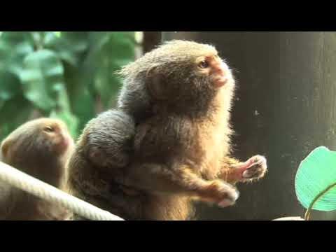 31 Pygmy Marmoset Facts: Guide to Finger Monkeys (Cebuella