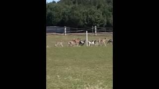 Kozy na wypasie - goats