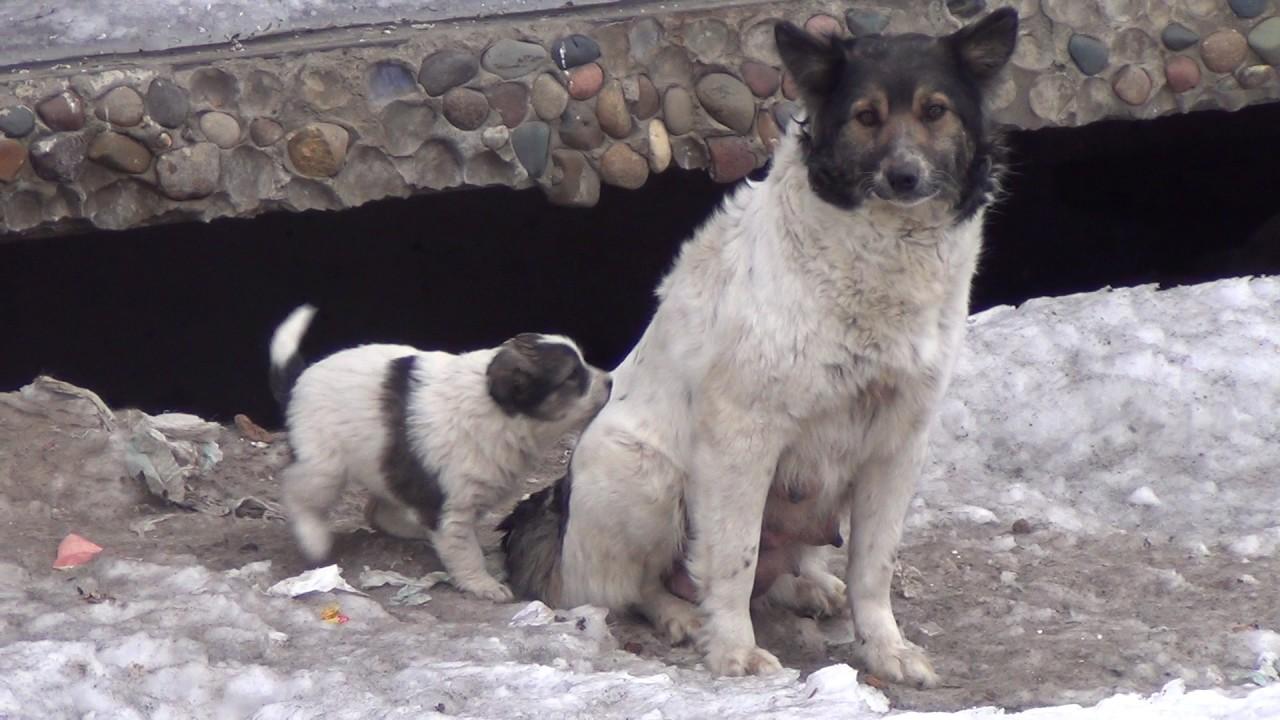 В интернет-магазине шкурки. Ру вы можете купить шкуры волка по очень выгодной цене, от 12000 рублей!