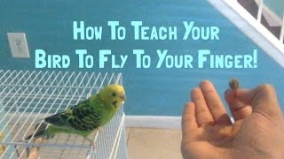 How To Teach Your Budgie To Fly To Your Finger!