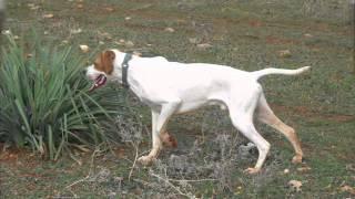 Vidéos Pointer anglais, chiens de race Pointer anglais en