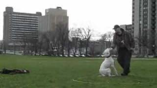 Training A 12 Month Old Dogo Argentino