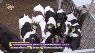 Bilinçli Hayvancılık-Düvelerde Beslenme ve Gebelik Dönemi Bakımı...