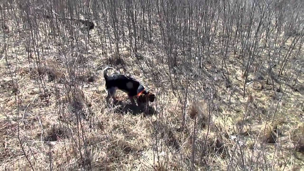 Beagle hunting - photo#46