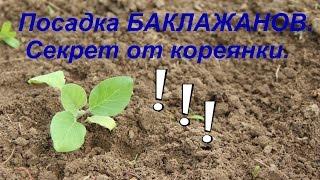 Посадка баклажанов. Секрет урожая от кореянки. Часть I.(Сажаем рассаду баклажанов в теплицу. Также в этом видео хочу поделиться с вами секретом выращивания богато..., 2015-05-13T23:45:45.000Z)