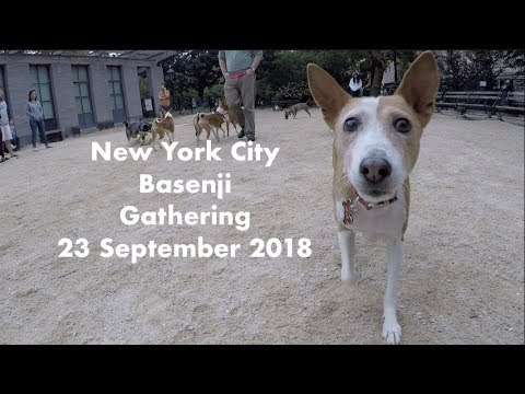 New York City Basenji Gathering - 23 September 2018 - Littermates