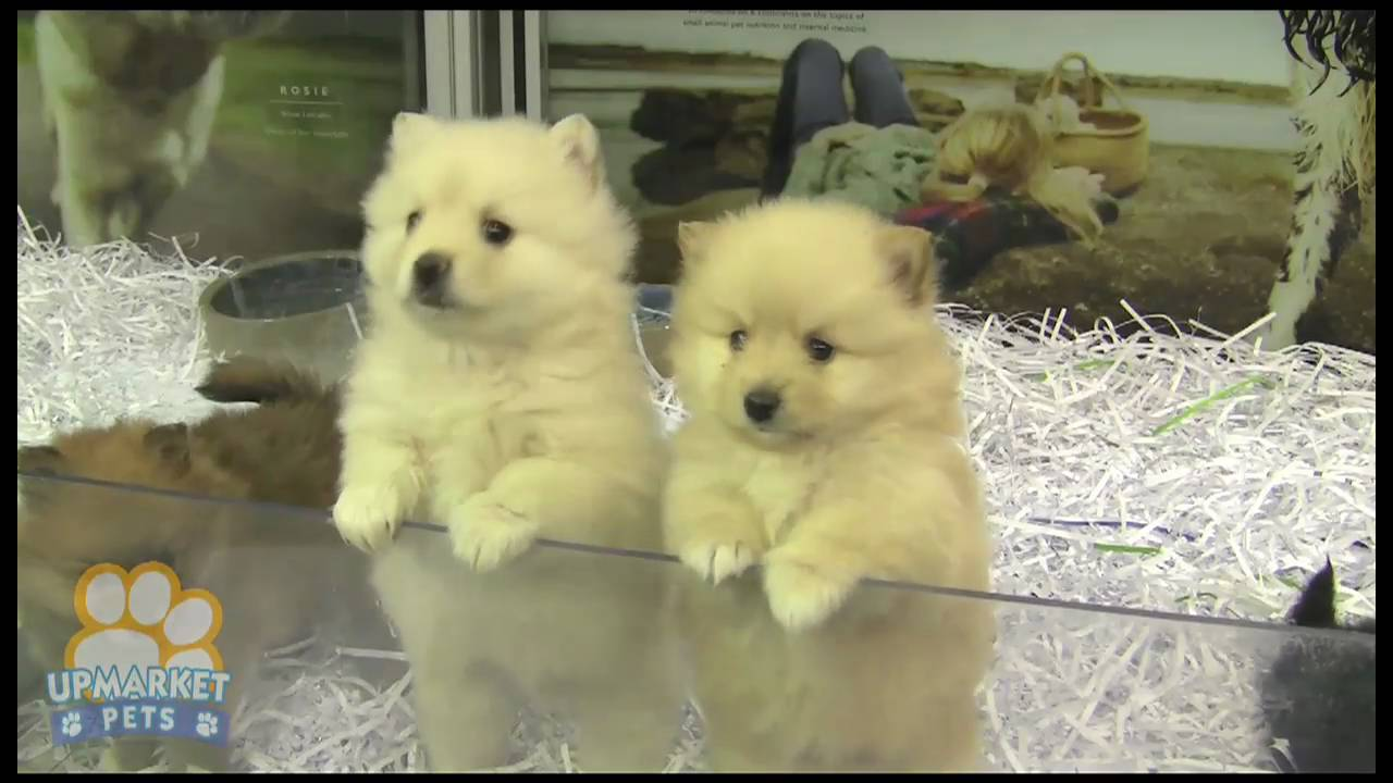 Pure Breed Pomeranian Toy Puppies Youtube
