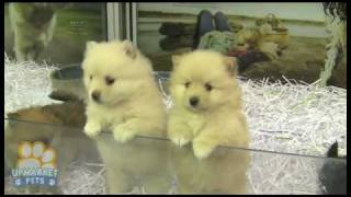 Pure Breed Pomeranian (toy) Puppies