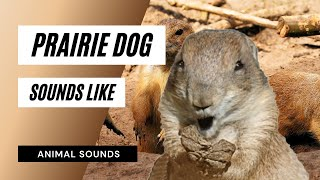 Die Animal Sounds: Prairie Dog Barking - Sound-Effekt - Animation