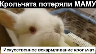 Искусственное вскармливание крольчат, кролик,крольчата содержание