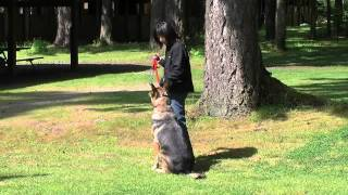 Kato- Dog Aggressive German Shepherd Learning Focus Training