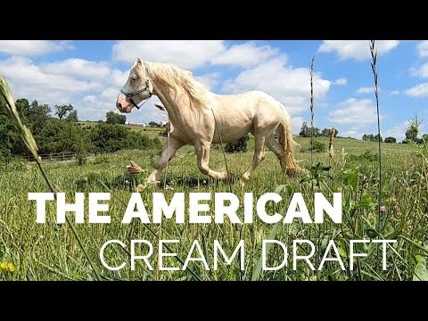 Discover The American Cream Draft Horse!