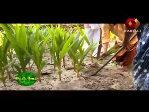 Bhoomigeetham | Short coconut tree nursery | Part 2
