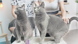Bringing Cats Home  Don't Forget These! (ft. Russian Blue)