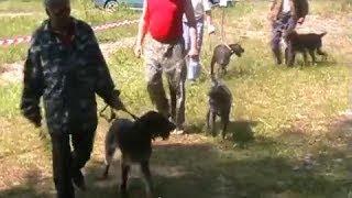 Областная выставка охотничьих собак   г Курск 2010 г  ч 3