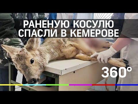 Раненую косулю спасли в Кемерове
