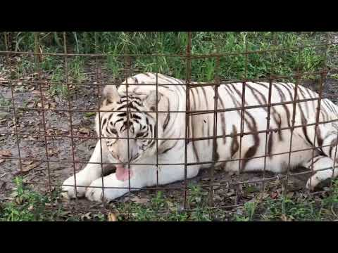 Checking in on Zeus Tiger After Eye Surgery