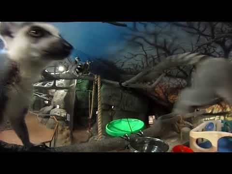 Staten Island 360 video: Hanging with the Zoo's Lemurs