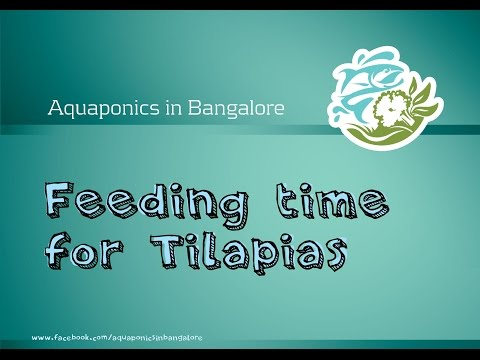Feeding Tilapia in Aquaponics