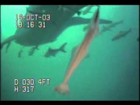 VIDEORAY - MARINE LIFE OBSERVATION Whale Shark