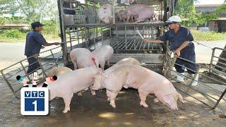 """Giá lợn tăng phi mã, dân """"cạn kiệt"""" lợn bán"""