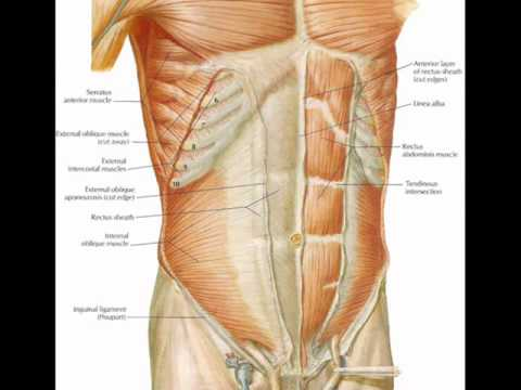 General Anatomy ~ ANTERIOR ABDOMINAL WALL - YouTube