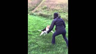 When Beagles attack..