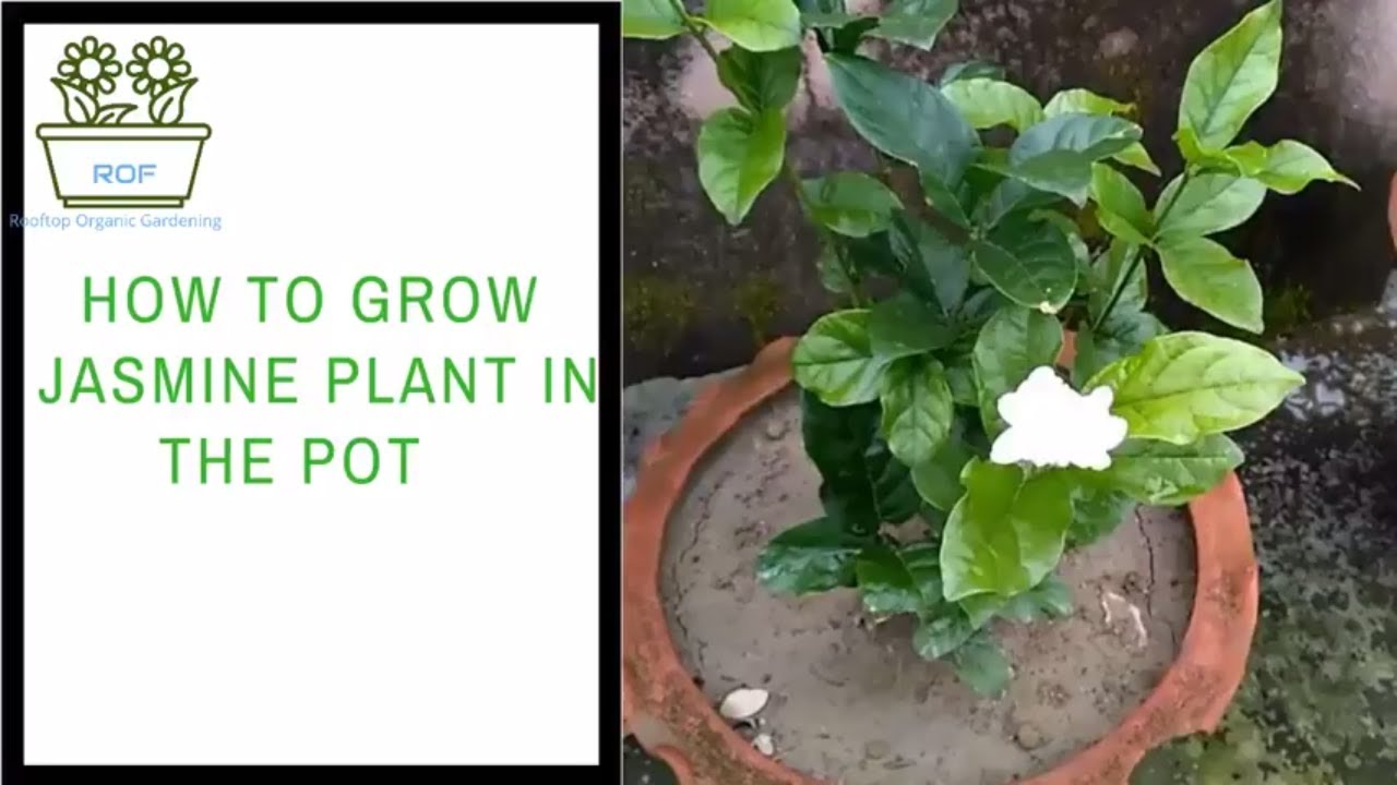 How To Grow Jasmine Plant In The Pot With Care Rooftop Organic