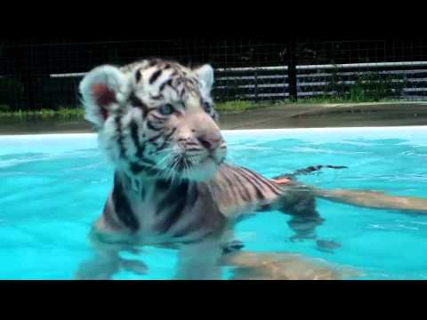 Baby Tiger's first Swim