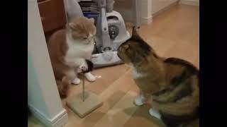 ドラゴンボール風猫の喧嘩.