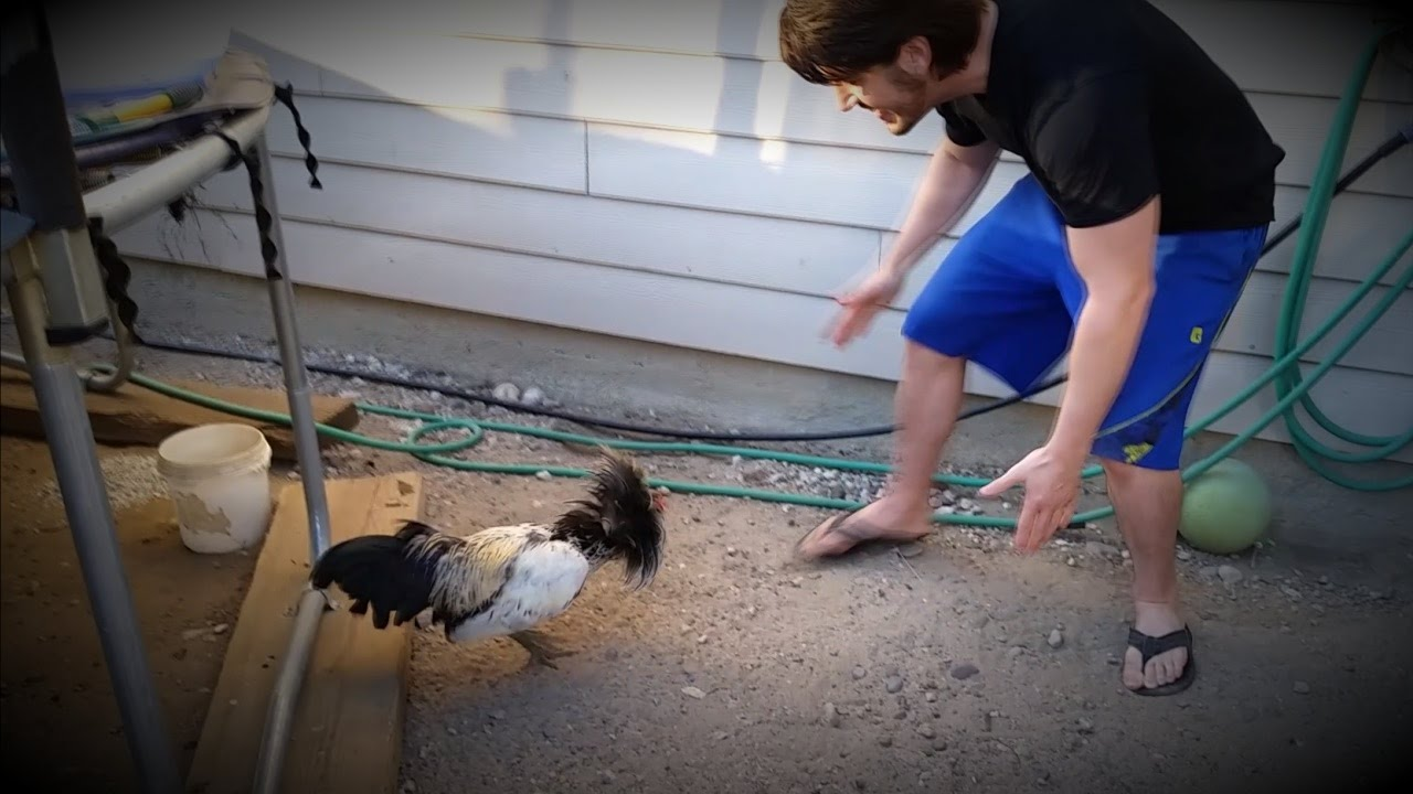 Man Vs  Rooster - Fight to the Death!