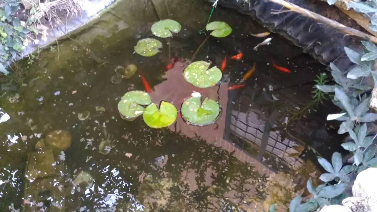 Il mio laghetto con 12 pesci rossi 1 carpa noi e 2 pesci for Vasca x pesci rossi