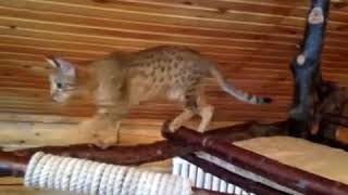 Оцикет MANJANA CLEOPATRA.Питомник редких пород кошек Bellezzo Natural