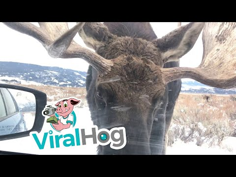 Jonny Hartwell - VIRAL VIDEO: A Close Encounter With A Moose