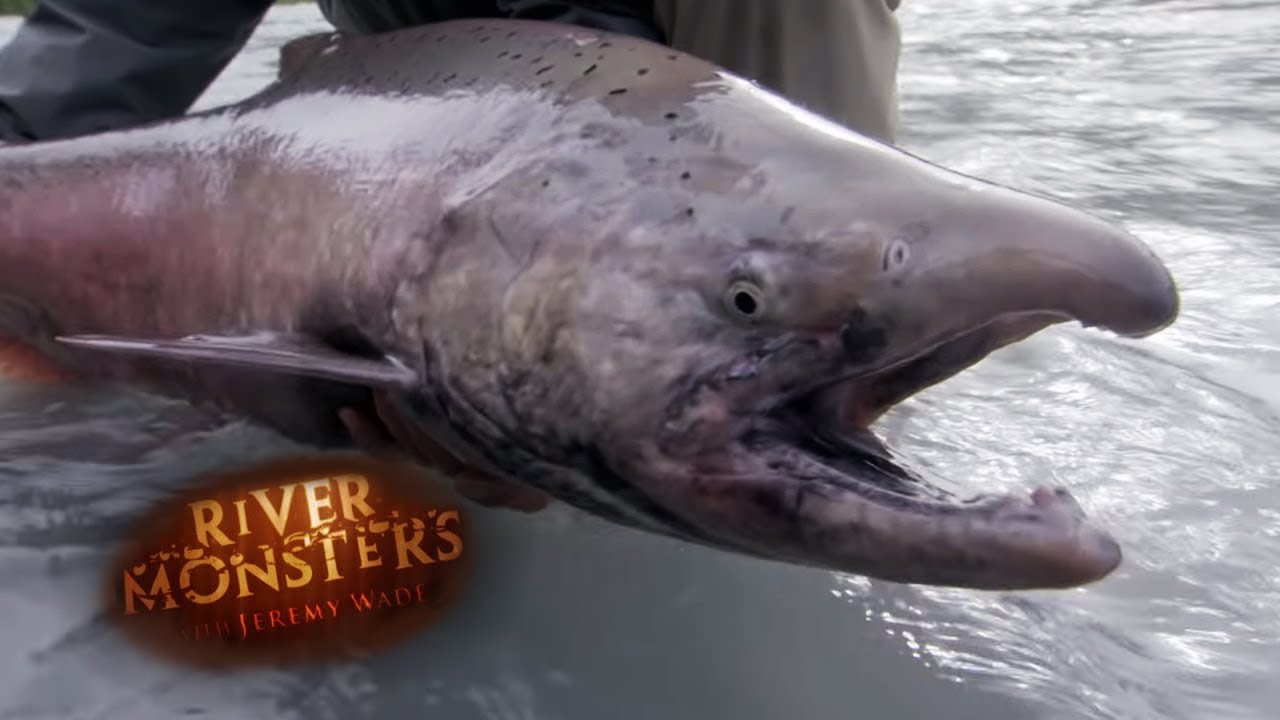 The King Salmon - River Monsters