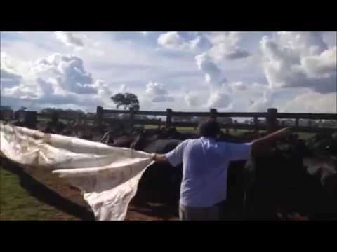 Manejo do gado na fazenda Sereno/MT