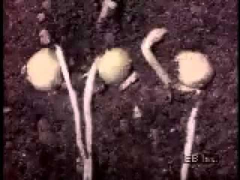 Germination of peas - time lapse - Thời gian hóa, sự nảy mầm ở đậu hà lan