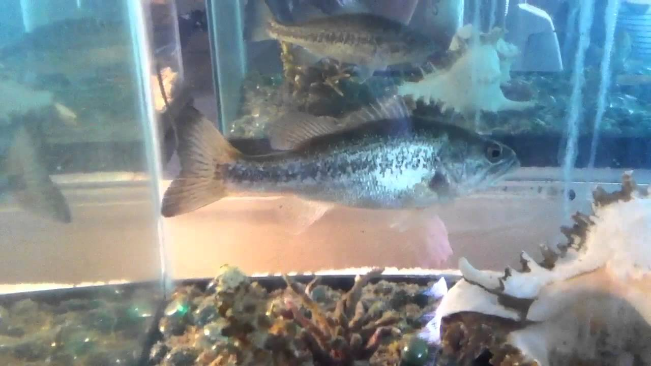 Bass and bream in an aquarium youtube for Bluegill fish tank