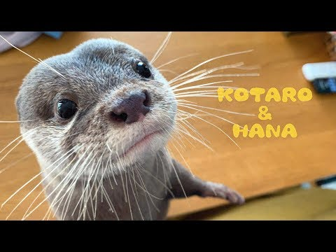 close-up-kotaro-the-otter-with-bushy-whiskers