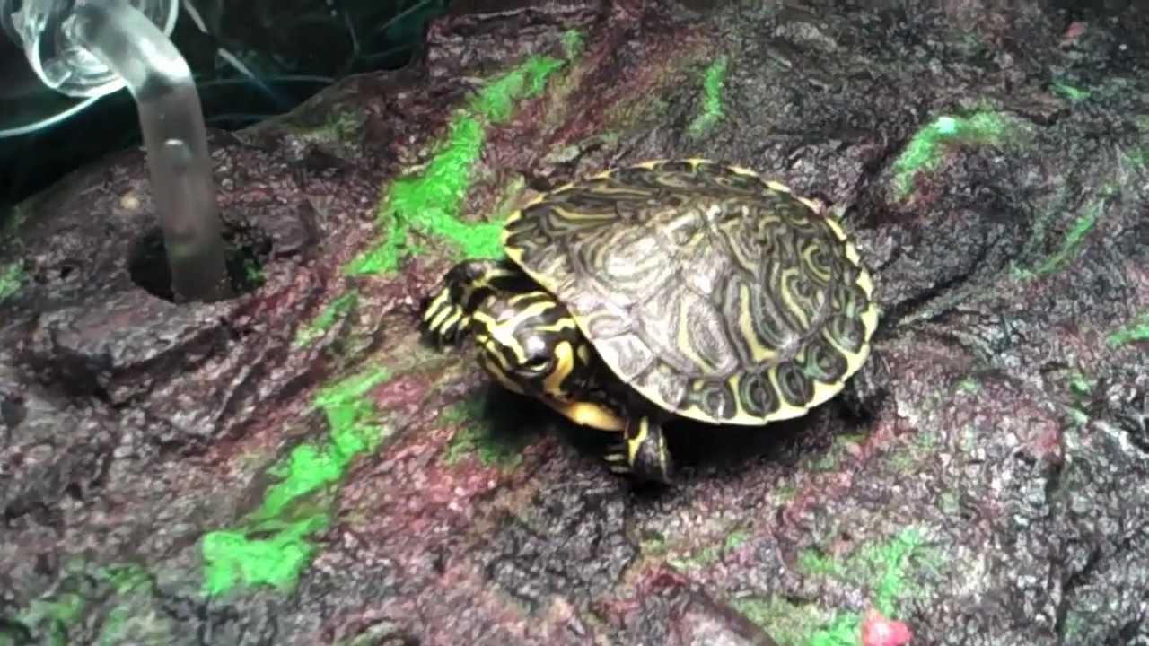aquatic turtles turtle eats fishes   20 gallon long
