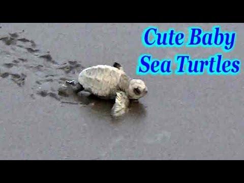 Cute Baby Sea Turtles Race Towards Sea Youtube