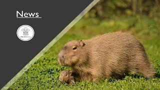World's biggest rat born at a British zoo
