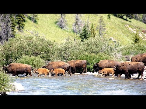 Bison cross a river for the first time - Banff National Park