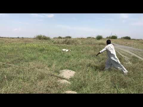 pakistan pointer hunting net legal english pointer