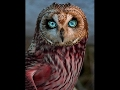OWLS - Owl Documentary (HD) Amazing Film, Harry Potter Birds (Earth Documentaries)