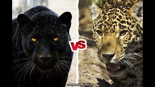 Wild Animal Racing Leopard VS Black Panther - Who Could Win a Race ? | DishoomGPYT