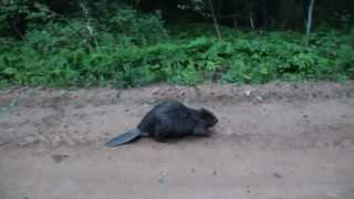 БОБРЫ  АТАКУЮТ! beaver attacks a man !
