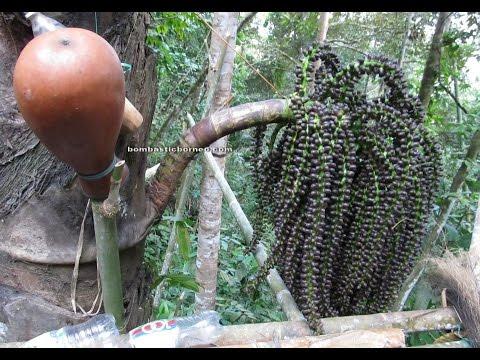 Nyok Palm Wine Harvest In Borneo Jungle, Exotic Delicacy