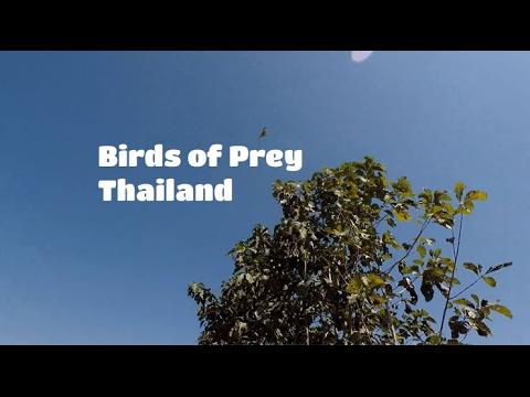 Birds Of Prey Thailand